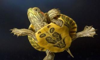 Чому черепахи - довгожителі?