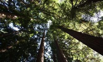 Чому дерева не ростуть вище ста метрів?