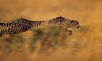 Чому гепард найшвидший