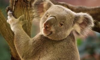 Чому коали обіймають стовбури евкаліптів