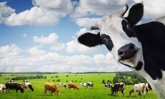Чому коров`яче молоко іноді віддає гіркотою?