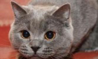 Чому кішка дивиться в очі
