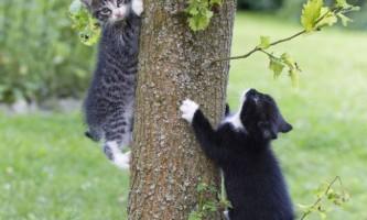 Чому кішки часто «застряють» на дереві?