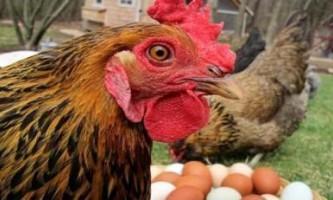 Чому кури роздзьобують яйця і як з цим боротися