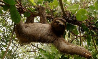 Чому лінивці ледачі