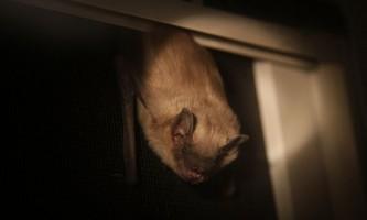 Чому кажани не плутати у своїх сигналах