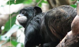 Чому мавпи-матері вбивають своє потомство