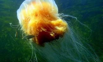 Чому медузи витісняють риб