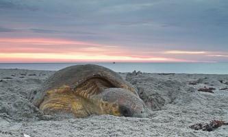 Чому морські черепахи повертаються на малу батьківщину?