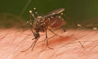 Чому настає смерть у комарів?
