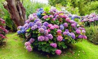 Чому не росте гортензія, основні хвороби квітки