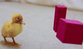 Чому не можна годувати качок хлібом?
