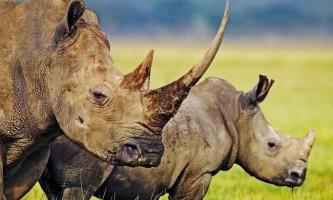 Чому носоріг так називається?
