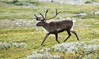 Чому олень може жити на півночі