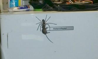 У австралії гігантський павук намагався з`їсти миша