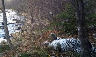 Самка леопарда, що стала зіркою реаліті-шоу, станцювала на камеру