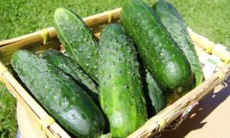 Чому з`являється гіркота в огірках?