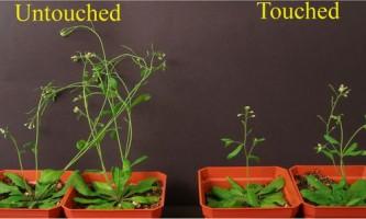 Чому дотик до рослини уповільнює його ріст