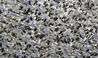 Чому птахи не стикаються в польоті?