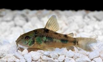 Чому рибки лежать на дні?