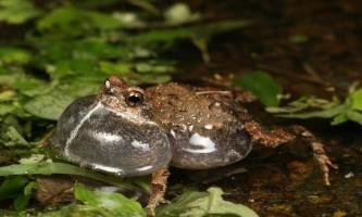 Чому самки жаби не завжди вибирають кращих самців