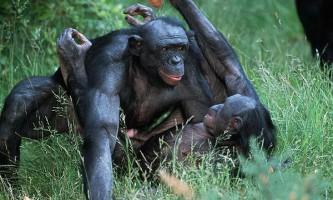 Чому шимпанзе-бонобо кохається, а шимпанзе звичайний воює