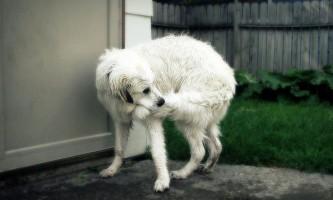 Чому собака ганяється за своїм хвостом