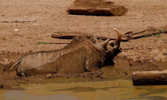 Чому свині валяються в грязі