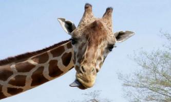Чому у жирафа довга шия? Вчені відповіли на одвічне питання