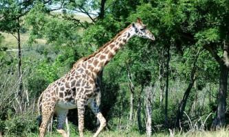 Чому у жирафа довга шия