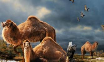 Можливо, верблюди прийшли в пустелю з канадської арктики
