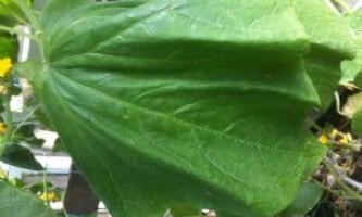 Чому в`януть огірки?