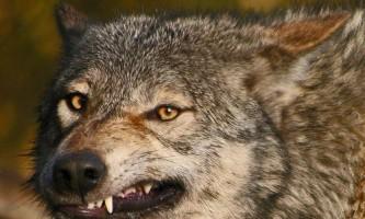 У магадані розраховують за 2 роки скоротити чисельність вовків на 20%