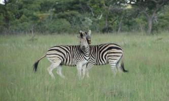 Чому зебра смугаста?