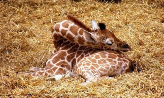 Чомучка: як спить жираф?