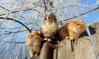 Під барнаулом живе колонія розкішних сибірських котів