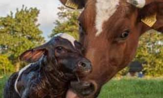 Підготовка до отелу корів і його ознаки, отелення і прийом теляти