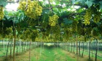 Підготовка ґрунту для вирощування винограду