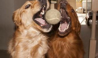 """Подібно людям собаки схильні до """"емоційного зараження"""""""