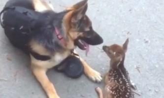 Подружитися з диким оленяти собака стала зіркою youtube