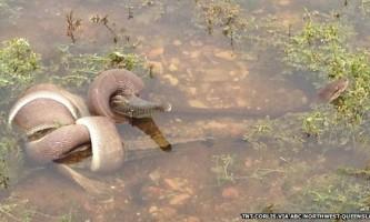 Поєдинок між змією і крокодилом