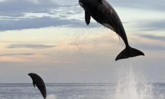 Погоня величезною косатки за дельфіном
