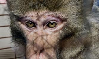 Спіймана `загадкова мавпа`, яка кілька років провела `в бігах`