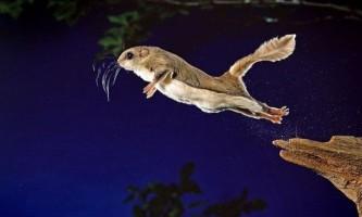 Політ південній летяги (glaucomys volans)