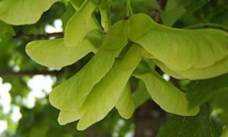 Політ кленових насіння виявився схожий на політ молі