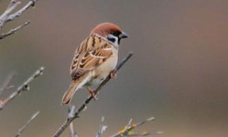 Польовий горобець: опис і спосіб життя співочої пташки
