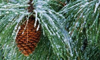Чи корисний новорічний сосновий аромат?