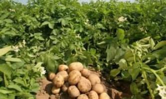 Чи корисно підгортання картоплі?