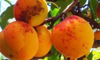 Корисні і цілющі властивості абрикоса