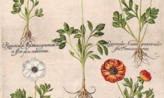 Корисні властивості лютиков, застосування отруйної рослини в різних областях